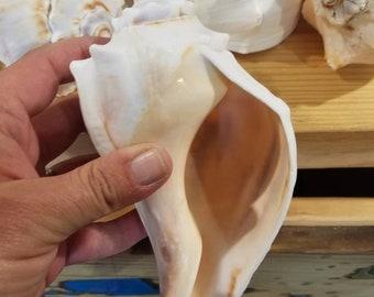 Big White Tan Atlantic Whelk Conch Shells Art Craft Beach Wedding DIY Arrangement Centerpiece Coastal Home Decor Air Plant Succulent Planter