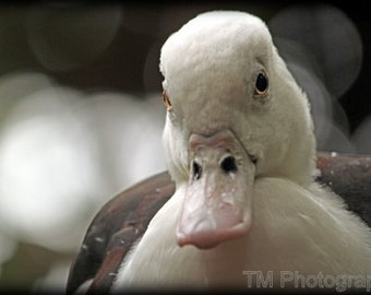 Duck, Duck Photography, Geese, Goose, Duck Print, Fine Art Photography, Duck Photo, Quack