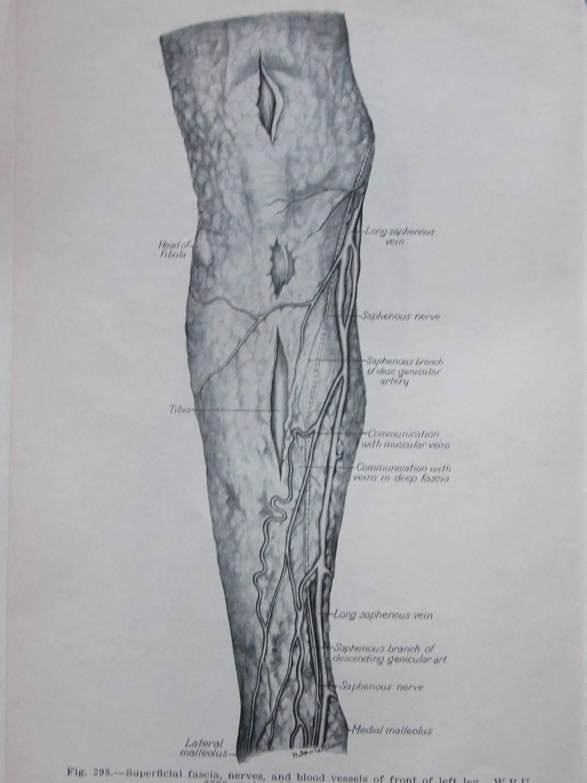 Atemberaubend Schienbeinnerv Anatomie Fotos - Menschliche Anatomie ...