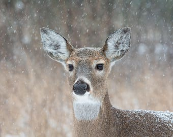 "Deer in Winter, Deer Art, Winter Photo, Deer Print, ""Winter Deer"""