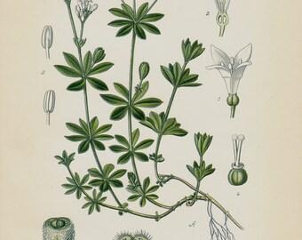 1896 Antique print, BOTANICAL print, lovely chromolithograph of a Galium odoratum, sweetscented bedstraw, woodruff, flower, plant