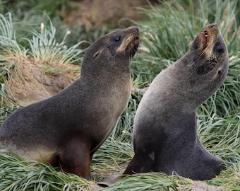 Fur Seal Siblings 6 months old - Sooo Cute