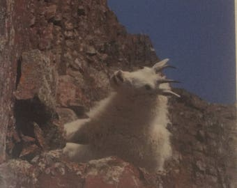 Snickering Mountain Goat