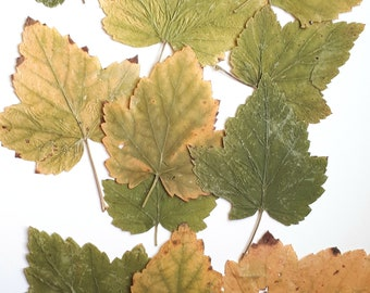 Pressed leaves for craft, green to yellow shades,flat leaves