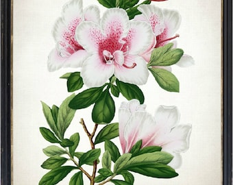 Azalea Flower Print, Pink and White Azaleas Antique Illustration, Instant Wall Art Printable, Digital Download