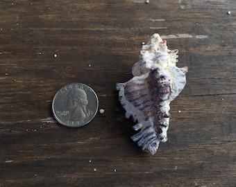 Stunning Murex shell