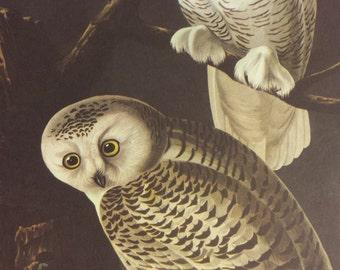 Vintage 1950's Audubon Print, Snowy Owl Print, Commentary by Roger Tory Peterson, Bird Print, Owls, Ornithology, Rustic Decor