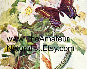 1902 Vintage Illustration, Butterfly and Flowers, Catepillar, Antique Print, Digital Download