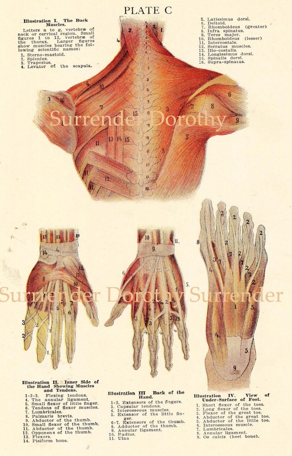 Human Anatomy Hand Foot Back Muscle Chart Vintage Medical