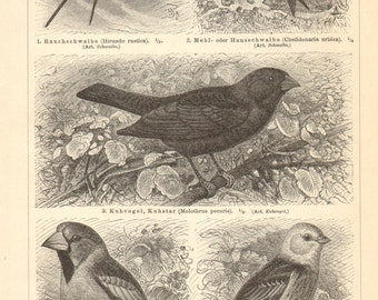 1897 Passerines, Barn Swallow, House Martin, Hawfinch, Yellowhammer, Kingbird, Rosy Starling, Great Grey Shrike, White Wagtail Vintage Print