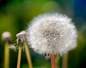 Dandelion Seeds Turn Into Wishes