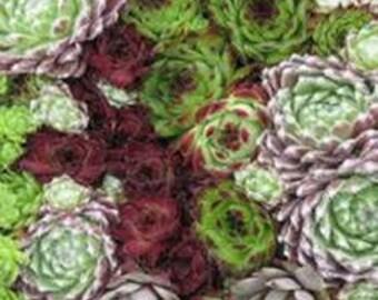 Sempervivum Seeds, Sempervivum Hybridum,  Hens and Chicks, Houseleek, Succulent Plant, Garden or Houseplant,  Xeriscape