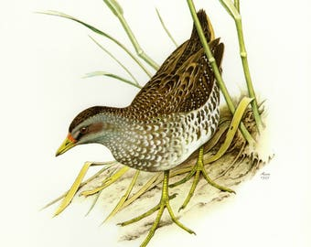 Vintage lithograph of the spotted crake from 1957