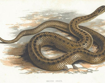1880 ORIGINAL  chromolithograph of a Smooth Snake