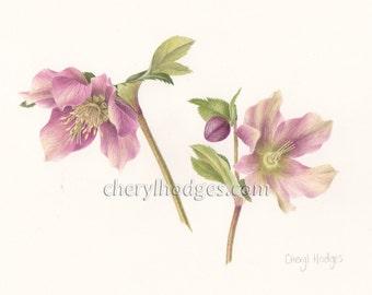 Helleborus orientalis print