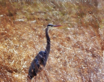 Pure Gold - PHOTO PRINT - Great Blue Heron in Winter Light