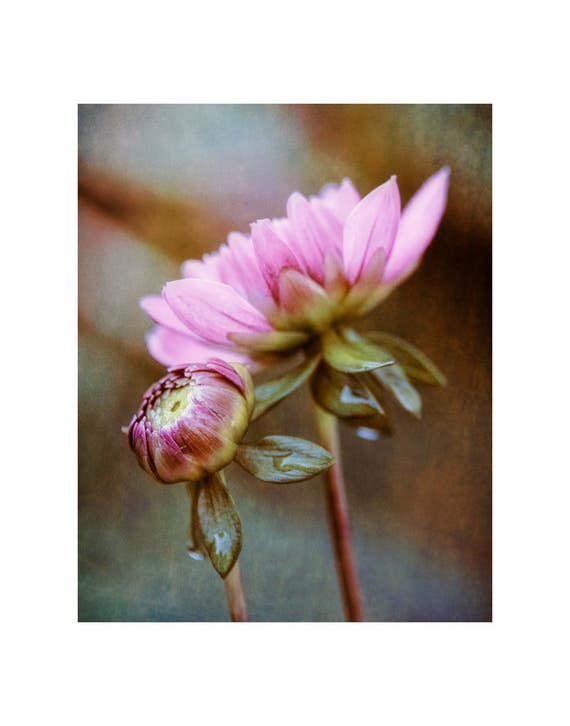 Flower photography, flower photo, floral photo, flower art print, floral art print, botanical photo, dahlia bud photo, pink dahlia buds