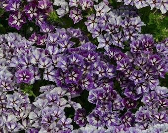 Sugar Stars Phlox Flower Seeds / Re-Seeding Annual  30+