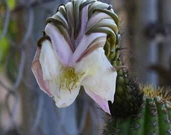 The Cactus flower