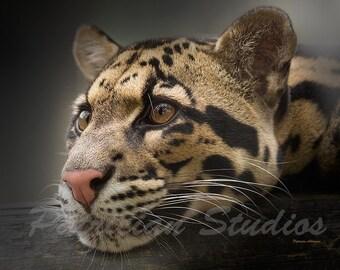 Clouded Leopard:  Lazy Cat
