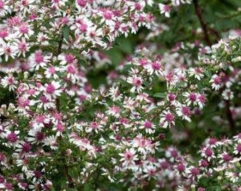 Aster lateriflorus 'Lady in Black' 100 seeds