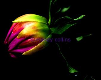 Dahlia Bud on Black is a fine art print of a fabulous dahlia bud close up. Fine Art Photography by Mandy Collins