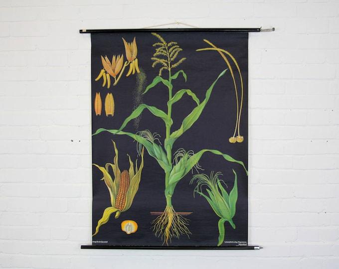 """Botanical Wall Chart """"Corn"""" By Jung Koch Quentell"""
