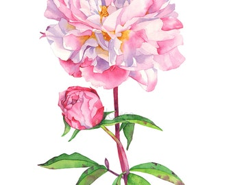 Peony print of watercolour painting, Peony watercolor painting print, P16416, A4 size, Peonies watercolor print, botanical art