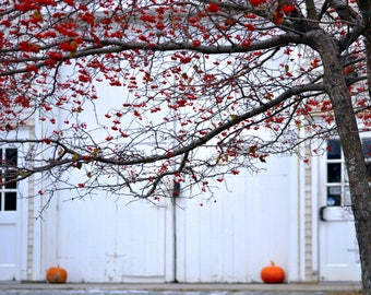 Photography Print - Winterberry Tree - Pumpkins - Barn - Maine - Winter - Photography - Art - Fall - Autumn
