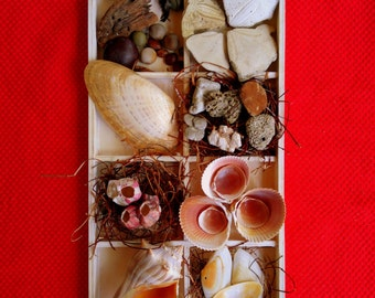 Shell Display with Shells and Tray - beach cottage decor - seabeans - whelk shell - Florida seashell collection - marine biology display -