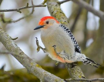 Woodpecker Joy; Wildlife; Red-Bellied Woodpecker; Nature's Best; Fine Art Photography