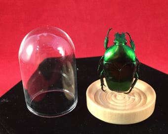 1 Preserved Entomology Flower Beetle Glass Dome Display Taxidermy insect bug