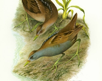 Vintage lithograph of the little crake from 1956
