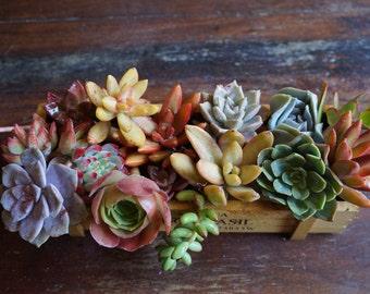 "Assorted Small-Medium Fresh Succulent Cuttings (1.5""- 3"")"