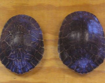 """2 - 7"""" River Cooter Turtle Shells"""
