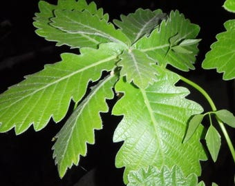 Quercus dentata Carl Ferris Miller grafted oak tree 1 year old, Bareroot