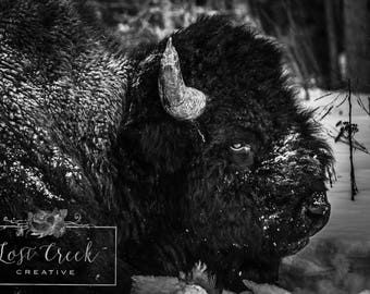 Buffalo Photography, Black and White, Ranch House Rustic Wall Art - American Bison