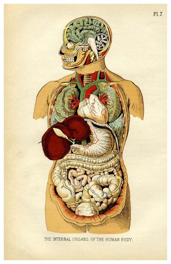 Inneren Organe des menschlichen Körpers 11 x 17