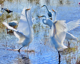 Dance of the Great Egret