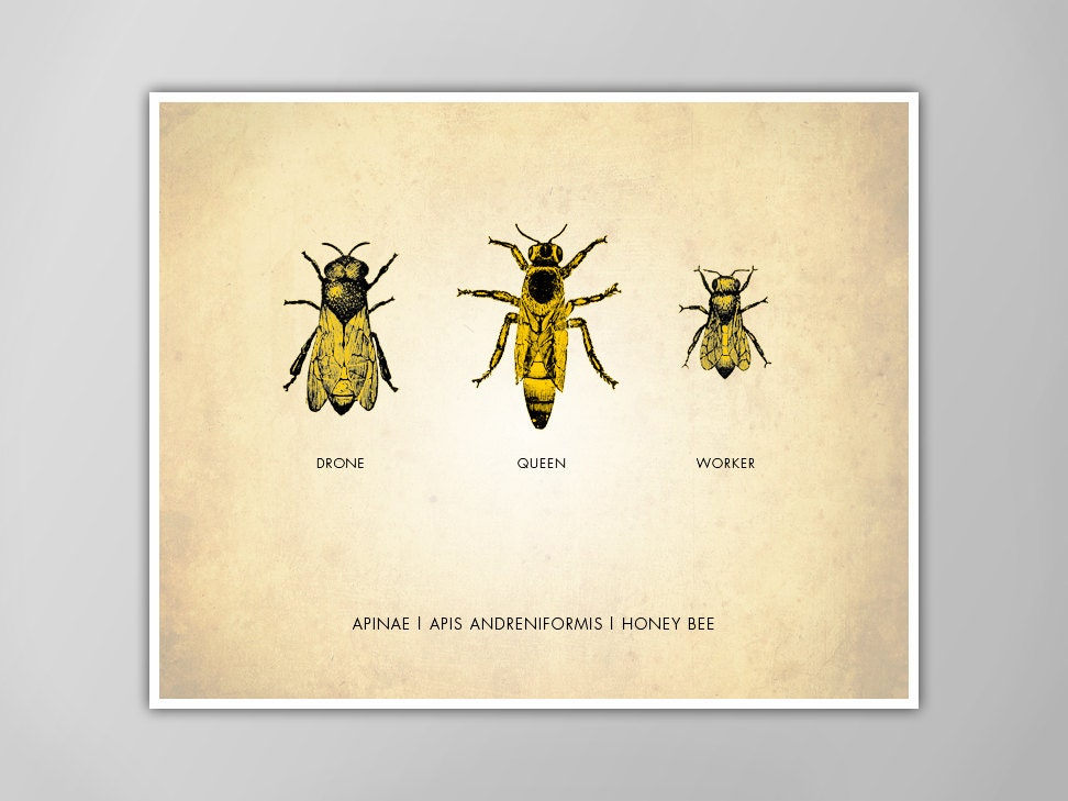 Unique Honey Bees Art Print Bees Art Print Natural History Poster OF19