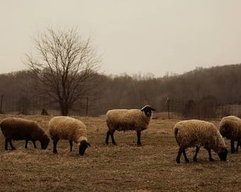 Sheep, lamb, winter, tree, photography, gold, beige, black, grey, rural, farmhouse, home decor, farmhouse decor, primitive