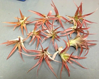 Capitata (Select) Live Tillandsia Air Plant  (EA)