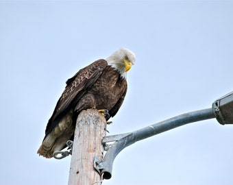 Bald Eagle Print perch stoic Alaska