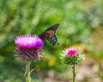 Butterfly & Pink Thistle, Spring, Landscape photography, nature, wall art, Texas, Hill Country, flower, pink, fine art print, wild flowers