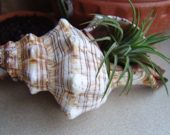 XL Striped Fox Sea Shell/ available as Seashell Terrarium Style with Air Plant/ or Loose Conch Style Shell Only/ Brown & White Stripes