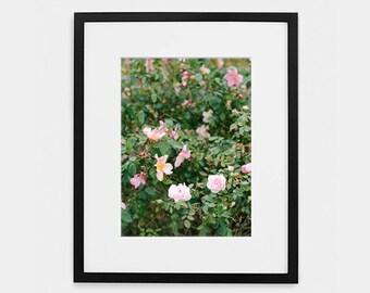 Pink Roses, Flowers, Fine Art Photograph, Home decor