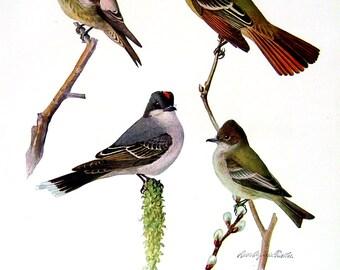 Olive Sided Flycatcher, Crested Flycatcher, Wood Pewee, Acadian Flycatcher - Fuertes Bird Print - 1936 Vintage Book Page - 8 x 11