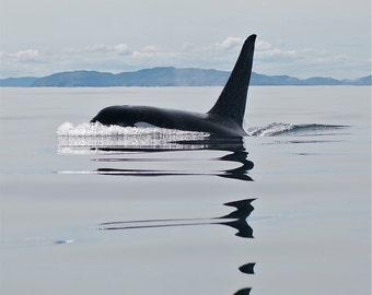 Male Orca DSC6678