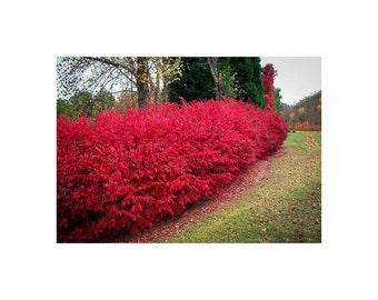 Burning Bush, Euonymus alatus, 2 Gallon Potted Plant, Bright Red Color Foliage, Landscaping, Decidious, Vibrant Shrub, Hedge, Beautiful