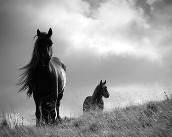 Horse photo, equine art, animal photography, black and white, fine art photo, British Fell ponies, choice of sizes